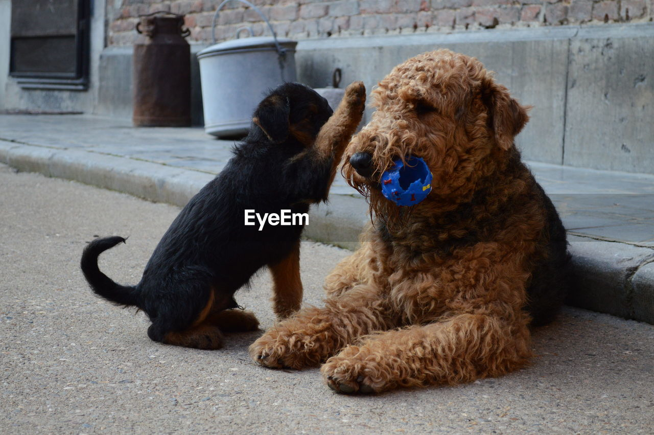 Airedale terrier and puppy on street