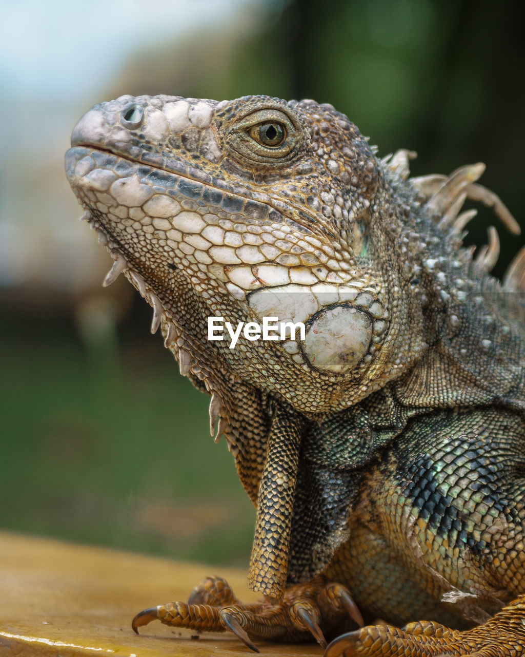 reptile, animal, one animal, animal themes, lizard, animals in the wild, vertebrate, animal wildlife, close-up, focus on foreground, animal body part, no people, bearded dragon, animal head, iguana, day, looking, nature, outdoors, looking away, animal scale, animal eye