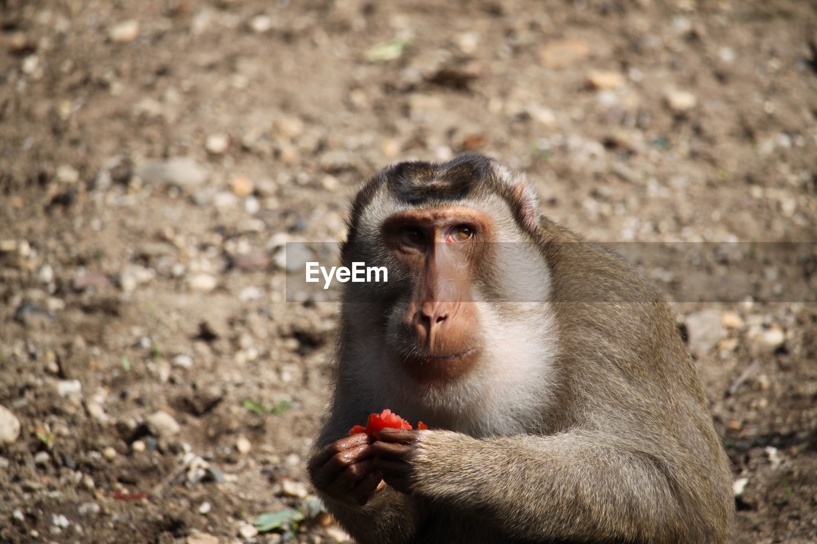 Portrait of young monkey eating lying on land