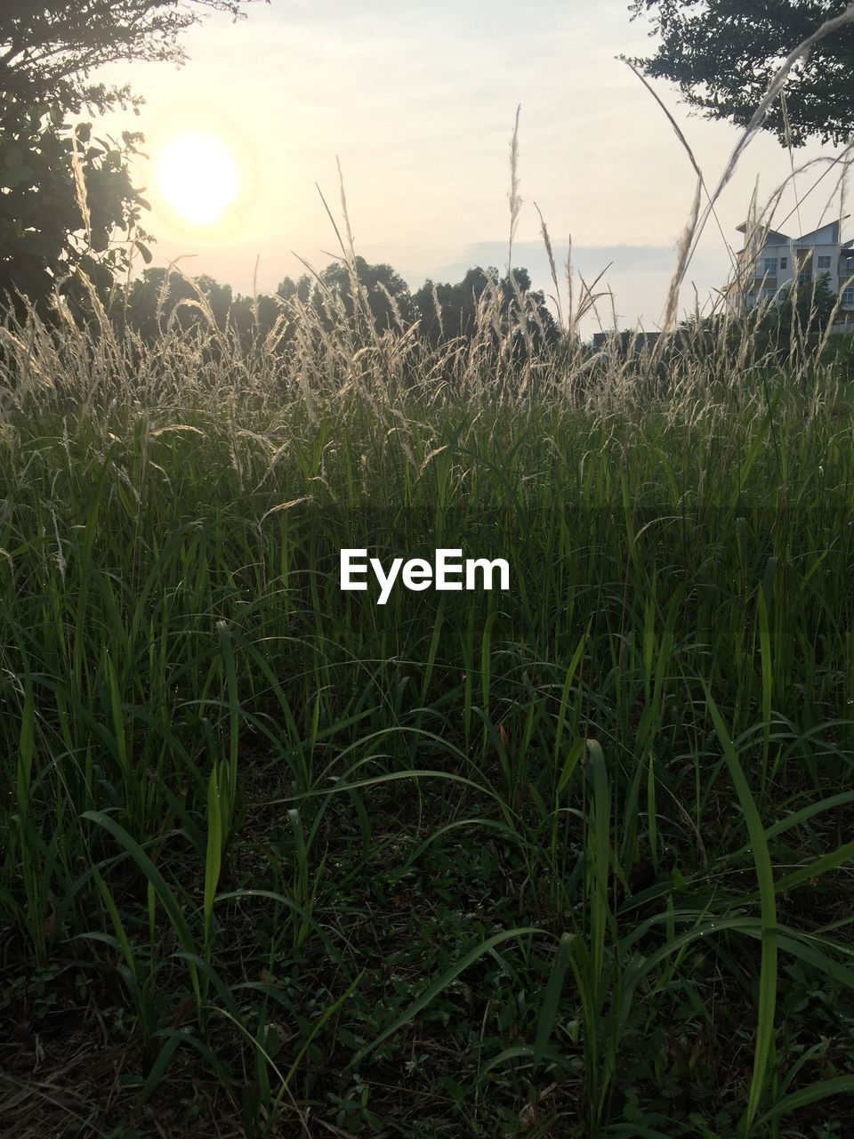 growth, field, nature, grass, outdoors, tranquil scene, plant, no people, beauty in nature, tranquility, agriculture, sunset, rural scene, scenics, landscape, day, sky, close-up, water