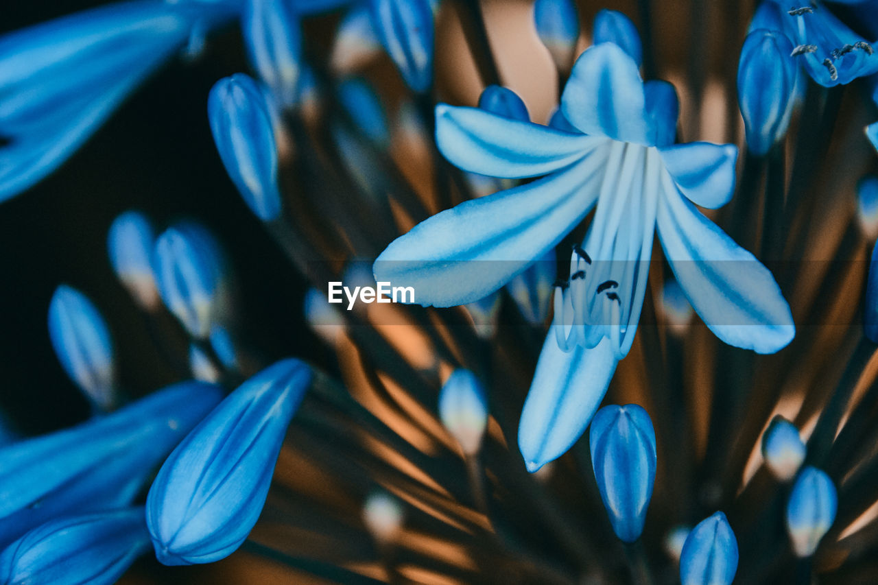 blue, close-up, no people, flower, flowering plant, selective focus, vulnerability, petal, beauty in nature, plant, fragility, freshness, flower head, inflorescence, indoors, focus on foreground, nature, growth, day, pollen