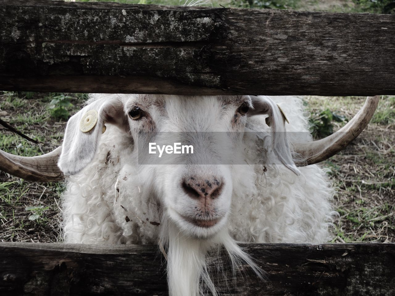 Close-up portrait of a goat
