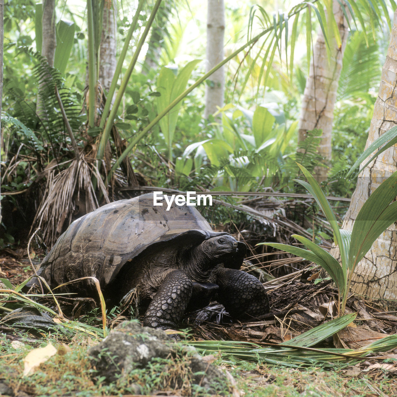 tortoise, one animal, animal themes, animals in the wild, reptile, tortoise shell, animal wildlife, day, no people, outdoors, grass, nature