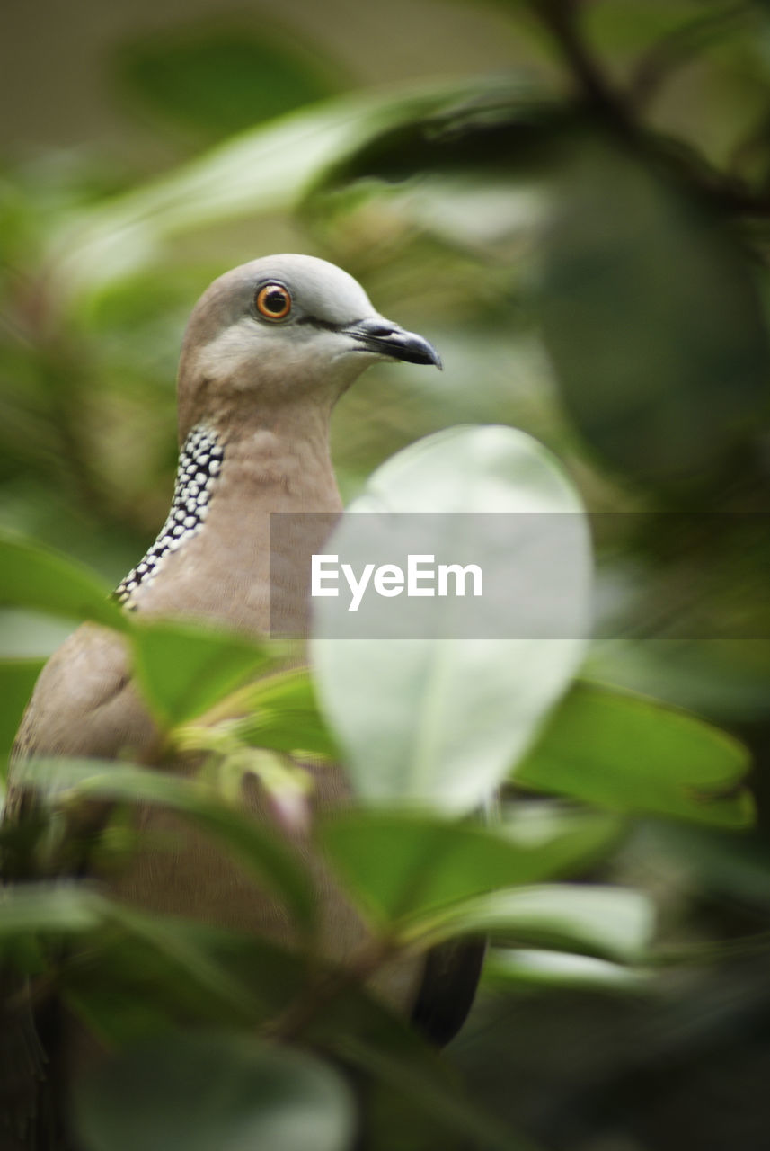 Close-up of spotted dove perching on tree
