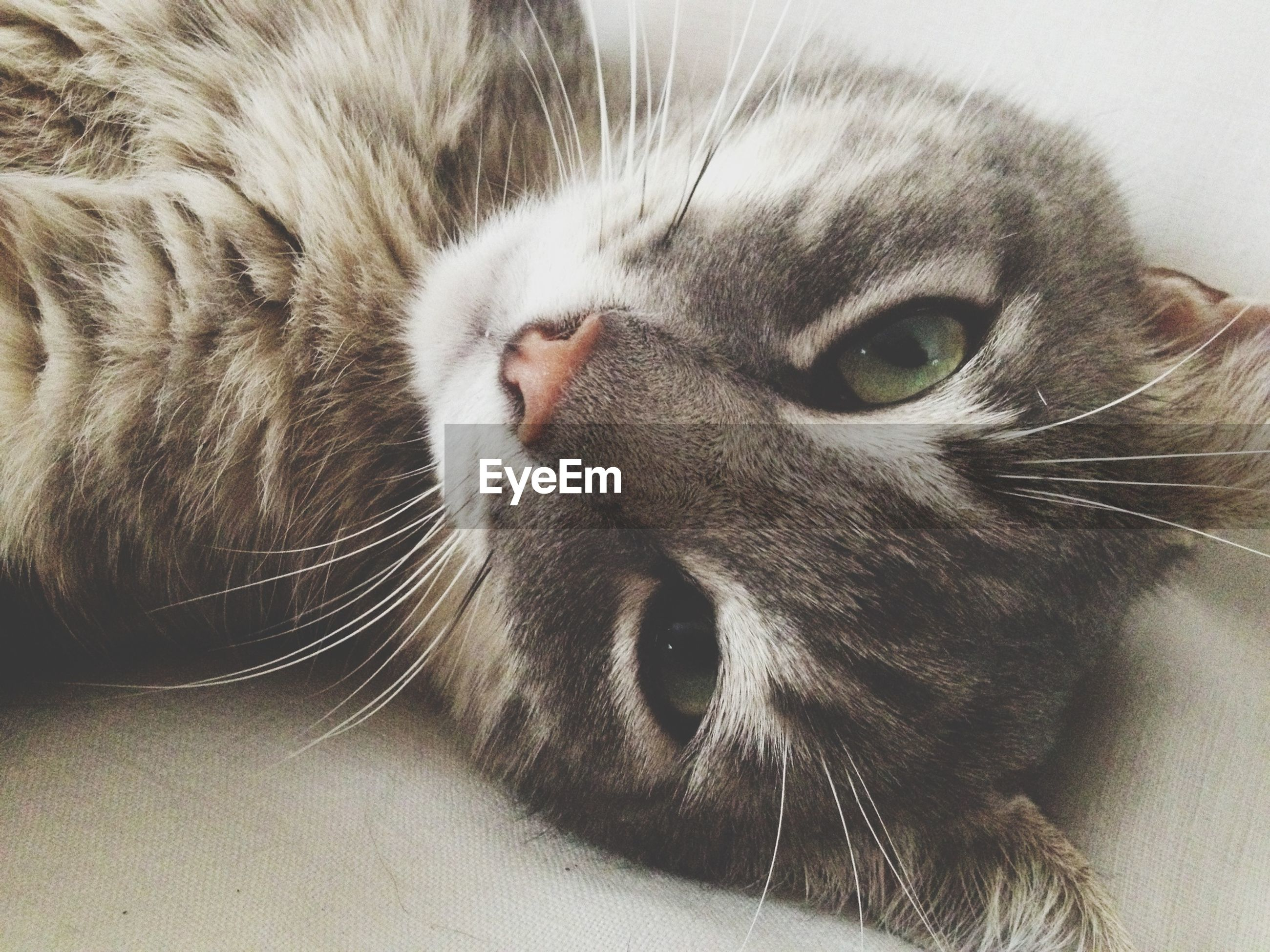 animal themes, one animal, pets, domestic cat, domestic animals, mammal, indoors, cat, feline, whisker, portrait, looking at camera, close-up, animal head, animal body part, animal eye, staring, alertness, relaxation