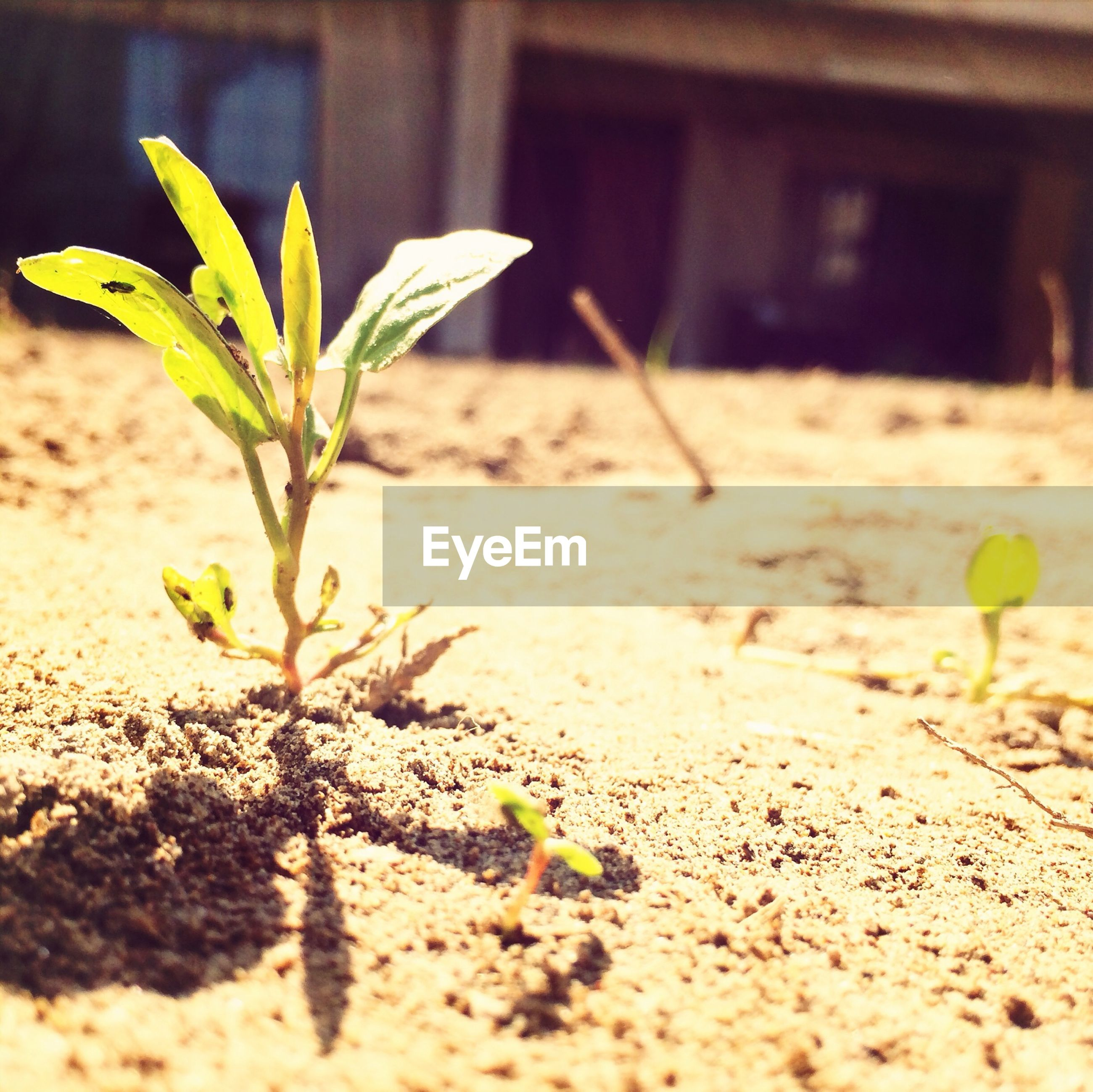leaf, plant, growth, close-up, focus on foreground, nature, selective focus, sand, fragility, green color, growing, day, stem, no people, sunlight, flower, outdoors, freshness, beauty in nature, potted plant