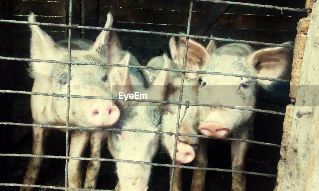 Close-up of pigs in cage