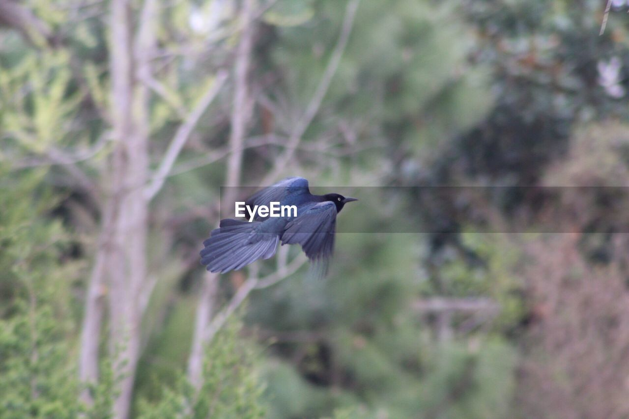 bird, animals in the wild, animal wildlife, vertebrate, one animal, flying, animal themes, animal, spread wings, no people, plant, mid-air, nature, day, tree, focus on foreground, heron, outdoors, motion, land