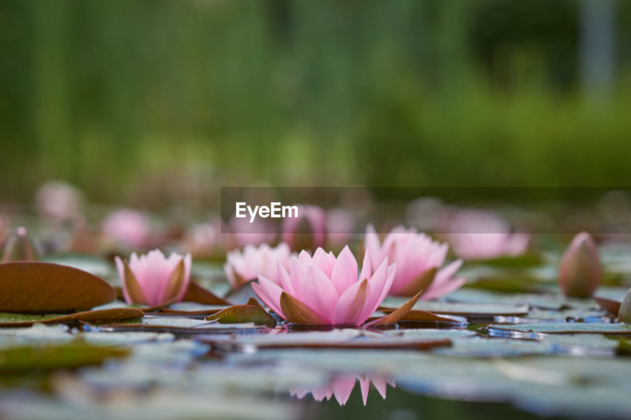 flower, flowering plant, beauty in nature, plant, pink color, selective focus, fragility, vulnerability, petal, water lily, freshness, close-up, nature, water, day, lake, growth, flower head, inflorescence, leaf, no people, lotus water lily, outdoors, floating on water, surface level