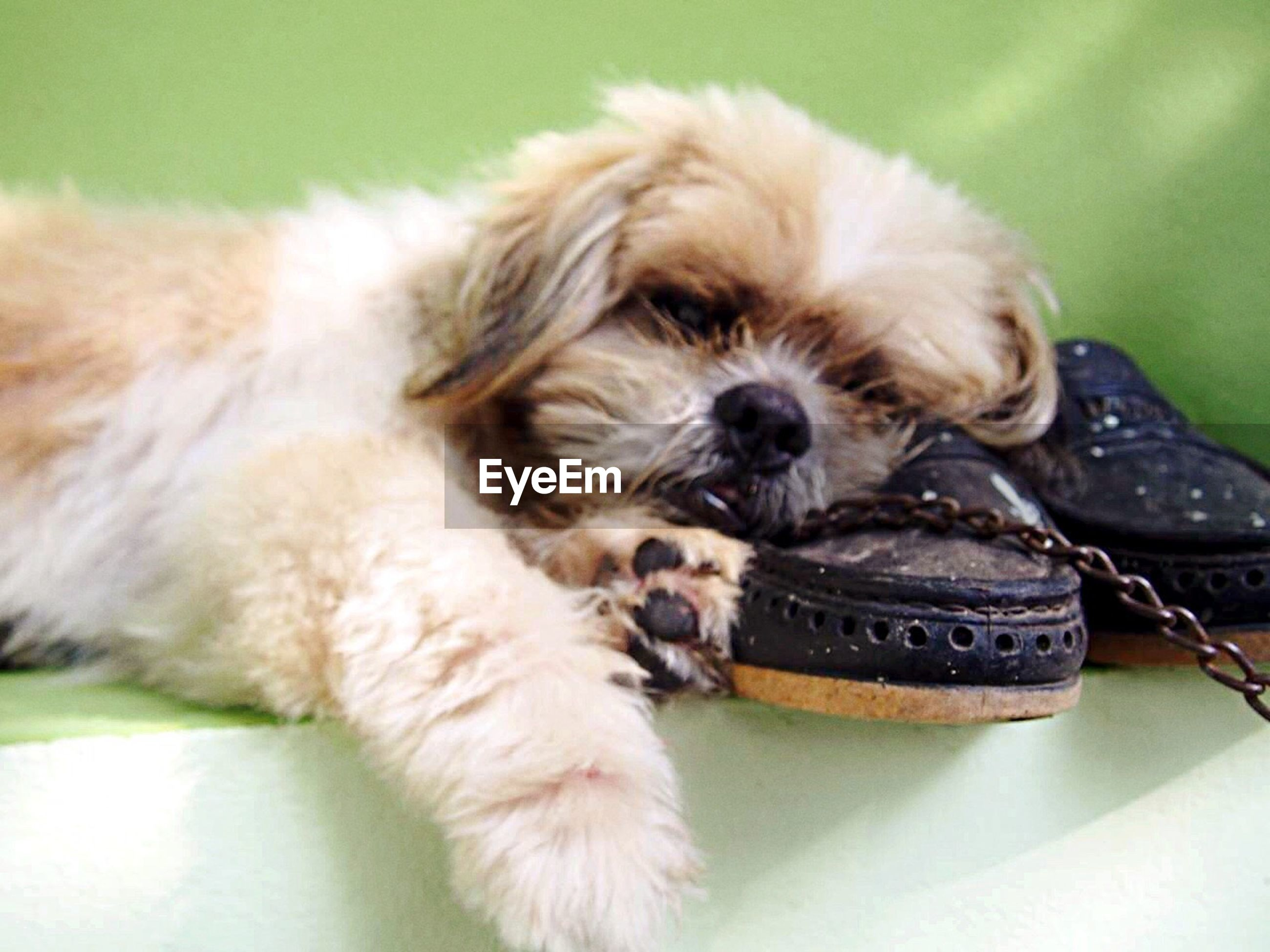 pets, dog, animal themes, domestic animals, mammal, one animal, young animal, puppy, shih tzu, cavalier king charles spaniel, lying down, indoors, no people, close-up, day