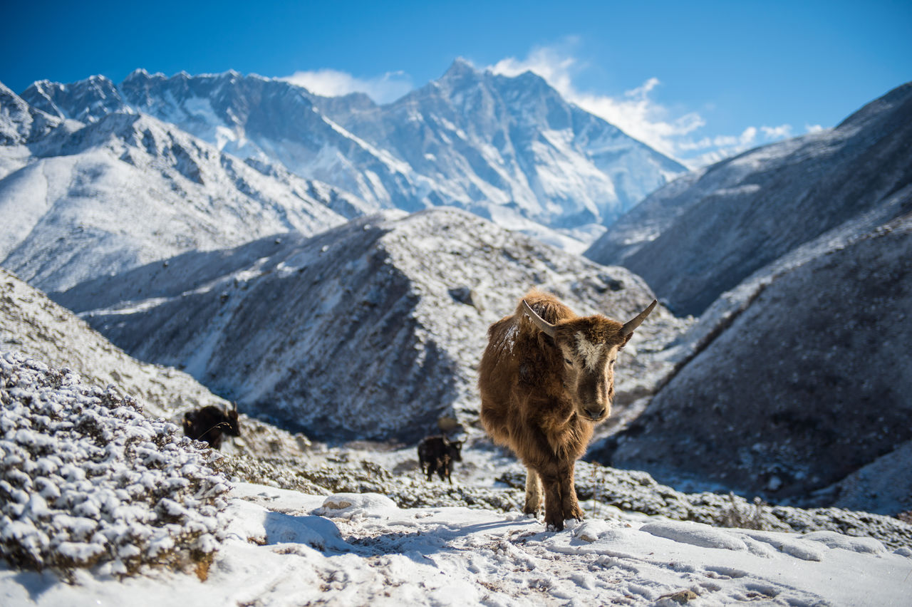 Yaks On Snowcapped Mountains
