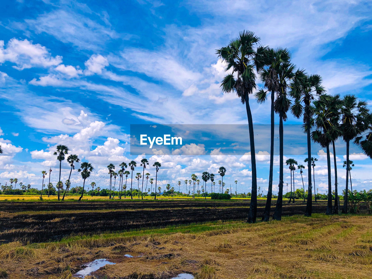 PALM TREES IN FIELD AGAINST SKY