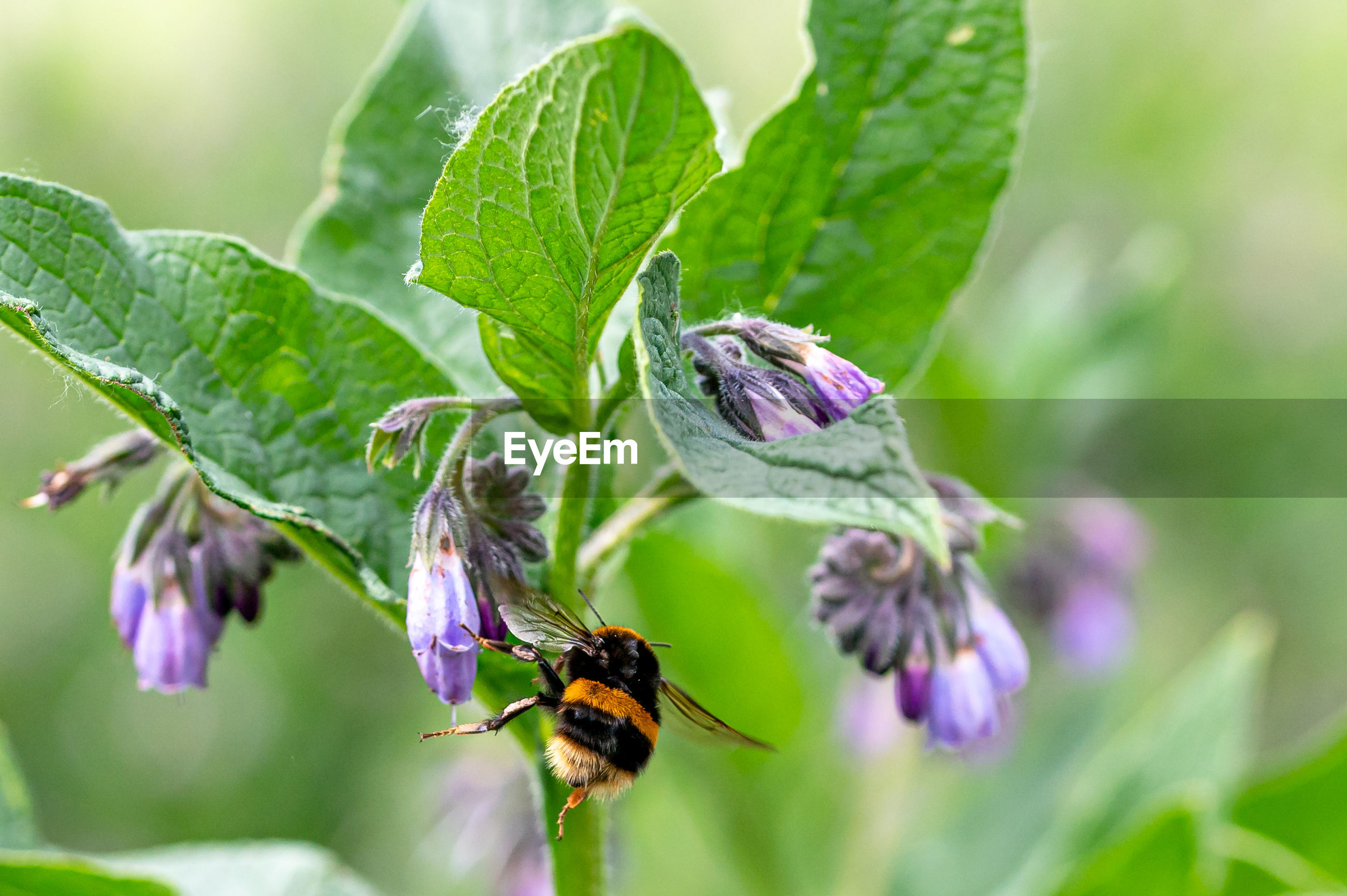 White tailed bumblebee, bombus lucorum, flying from flower to flower of the common comfrey flower
