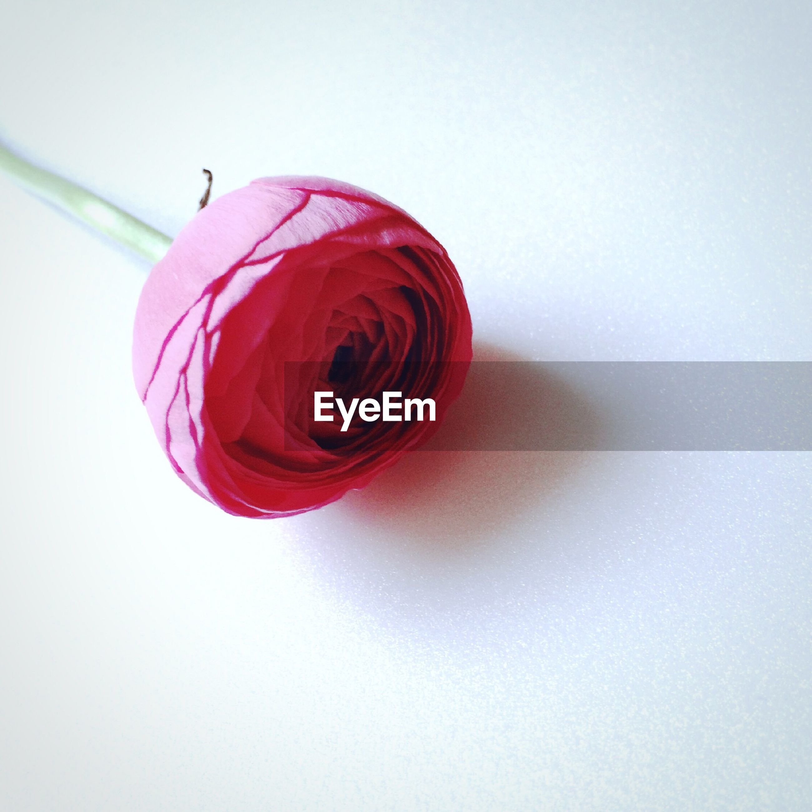 white background, studio shot, copy space, still life, red, close-up, pink color, single object, indoors, flower, cut out, freshness, two objects, no people, rose - flower, fragility, petal, pink, table, white color