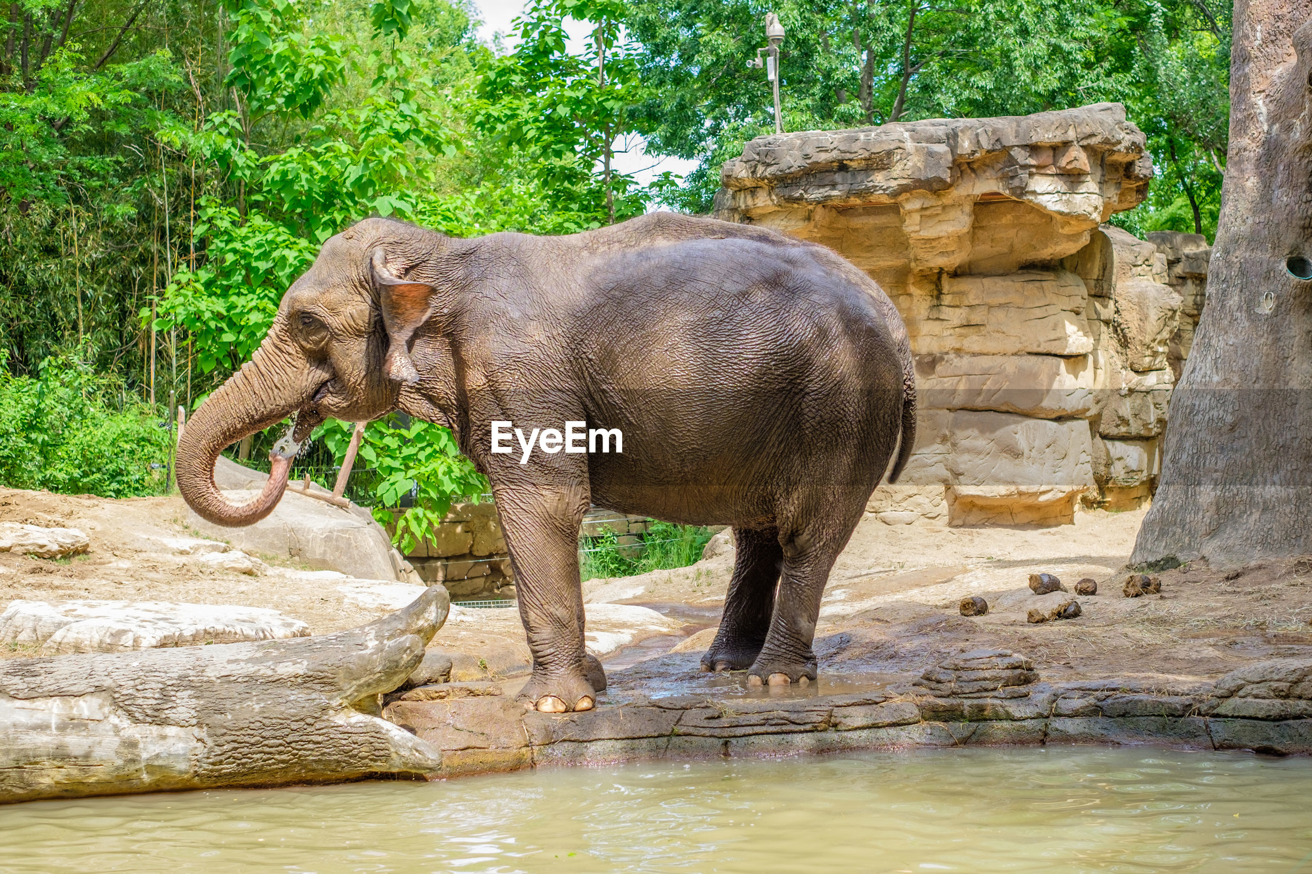 Elephant standing by pond against trees
