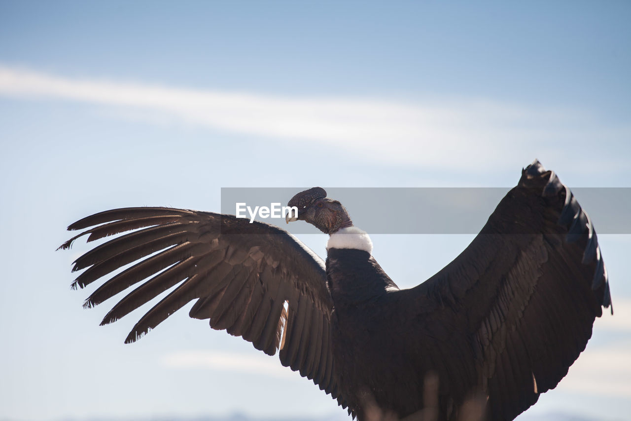 Low Angle View Of Vulture Against Sky