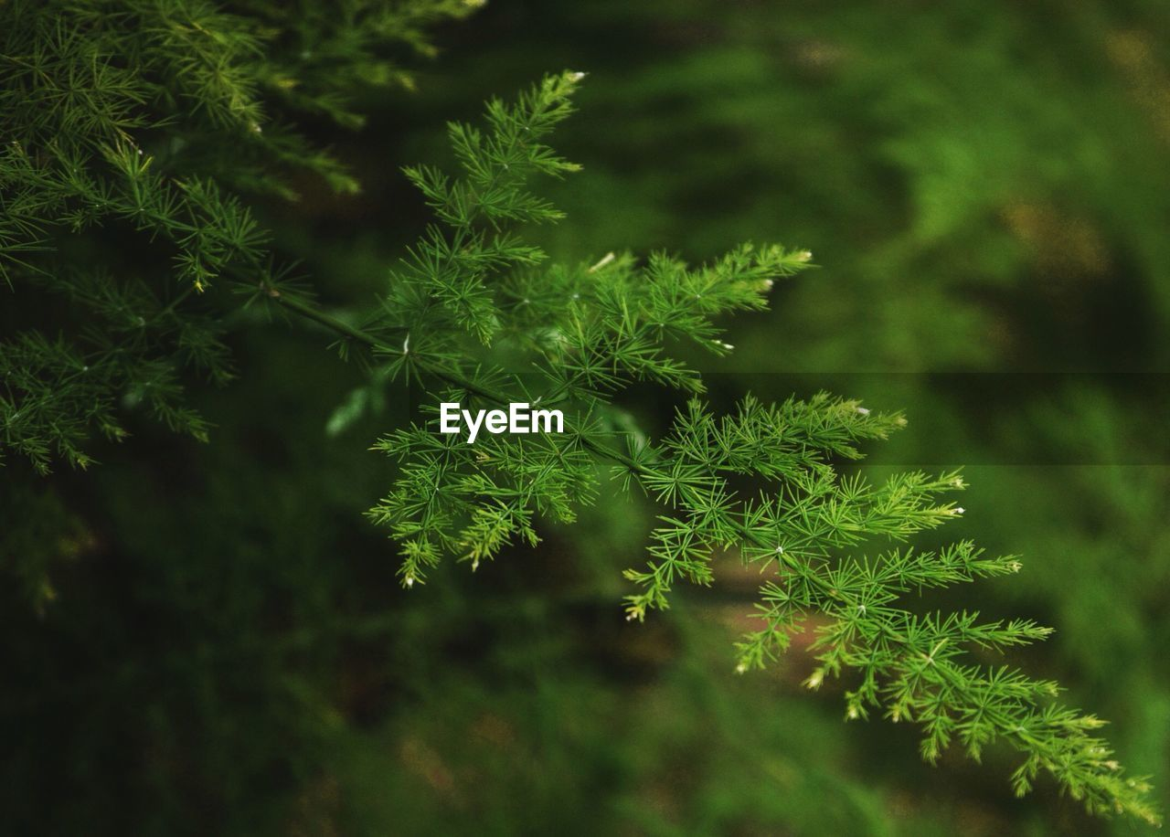 plant, growth, green color, beauty in nature, no people, nature, selective focus, plant part, close-up, day, leaf, tree, tranquility, outdoors, focus on foreground, land, freshness, vulnerability, fragility, branch, fir tree, coniferous tree, lichen