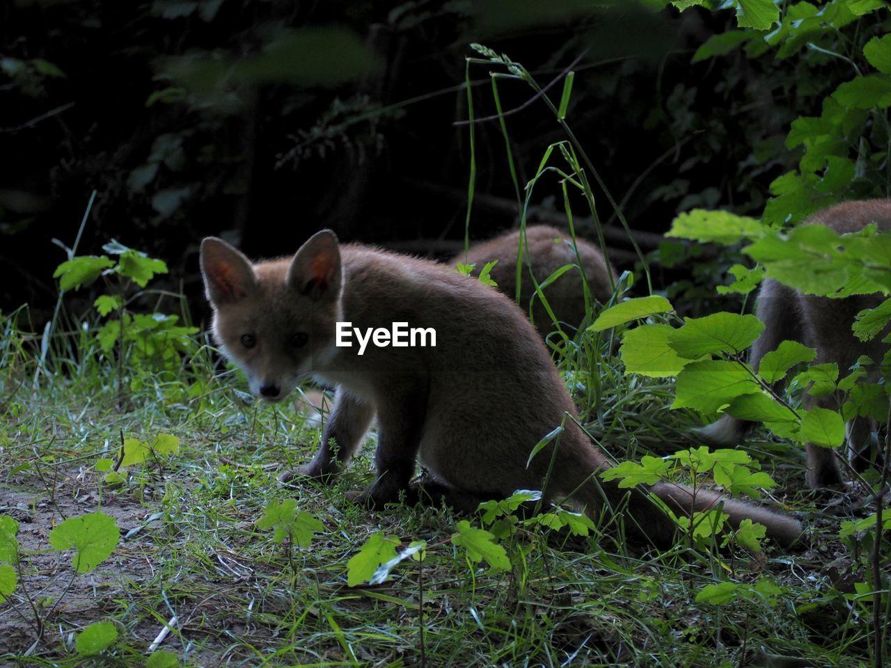 Fox cubs playing at dusk