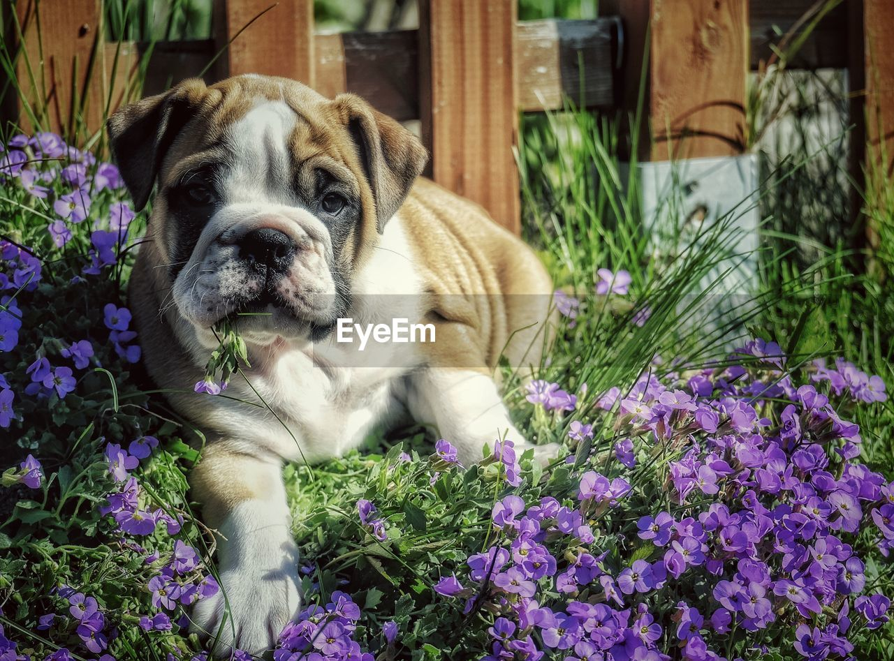 one animal, mammal, pets, dog, domestic animals, canine, domestic, animal themes, animal, flowering plant, plant, flower, vertebrate, relaxation, portrait, nature, looking at camera, day, no people, growth, purple