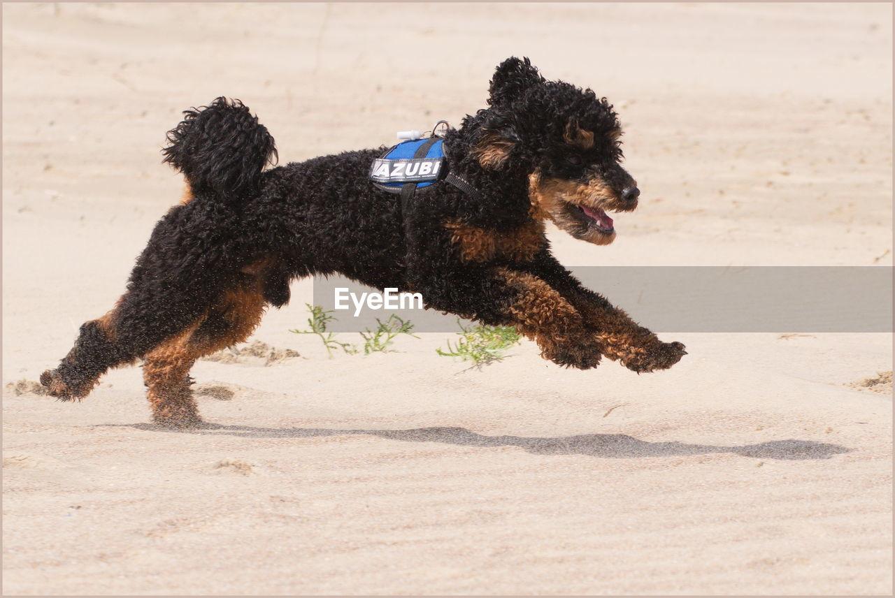 CLOSE-UP OF DOG RUNNING ON SAND