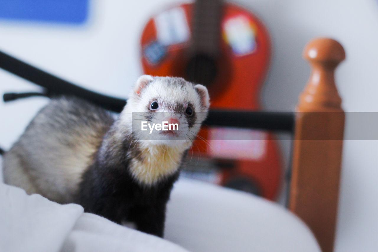 Close-up of ferret