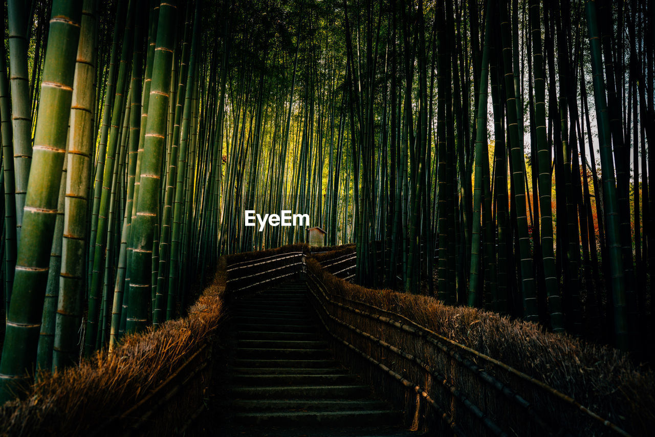 Boardwalk Amidst Bamboos In Forest