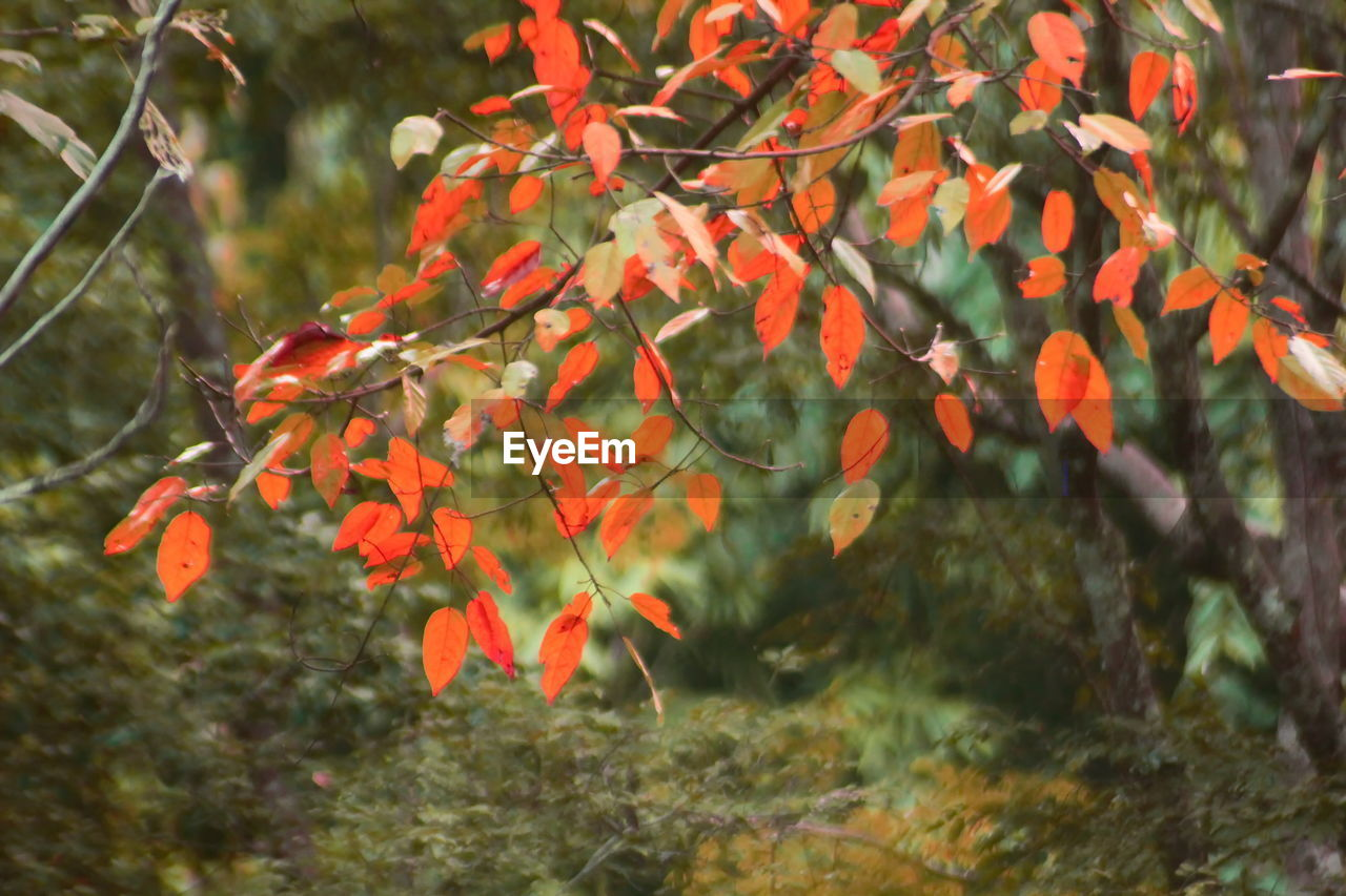 orange color, nature, growth, autumn, beauty in nature, change, day, leaf, outdoors, tranquility, no people, red, tree, plant, close-up, freshness