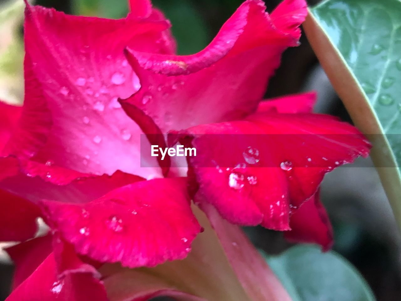flower, flowering plant, plant, beauty in nature, petal, vulnerability, close-up, fragility, growth, drop, wet, freshness, inflorescence, water, flower head, pink color, no people, nature, day, rain, outdoors, dew, springtime, raindrop, softness, purity