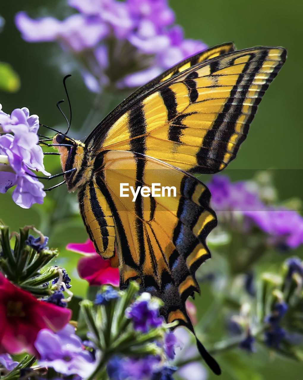 flower, insect, butterfly - insect, one animal, animal themes, animals in the wild, nature, beauty in nature, fragility, freshness, petal, purple, animal wildlife, plant, pollination, no people, close-up, butterfly, outdoors, day, focus on foreground, flower head, growth, perching, spread wings