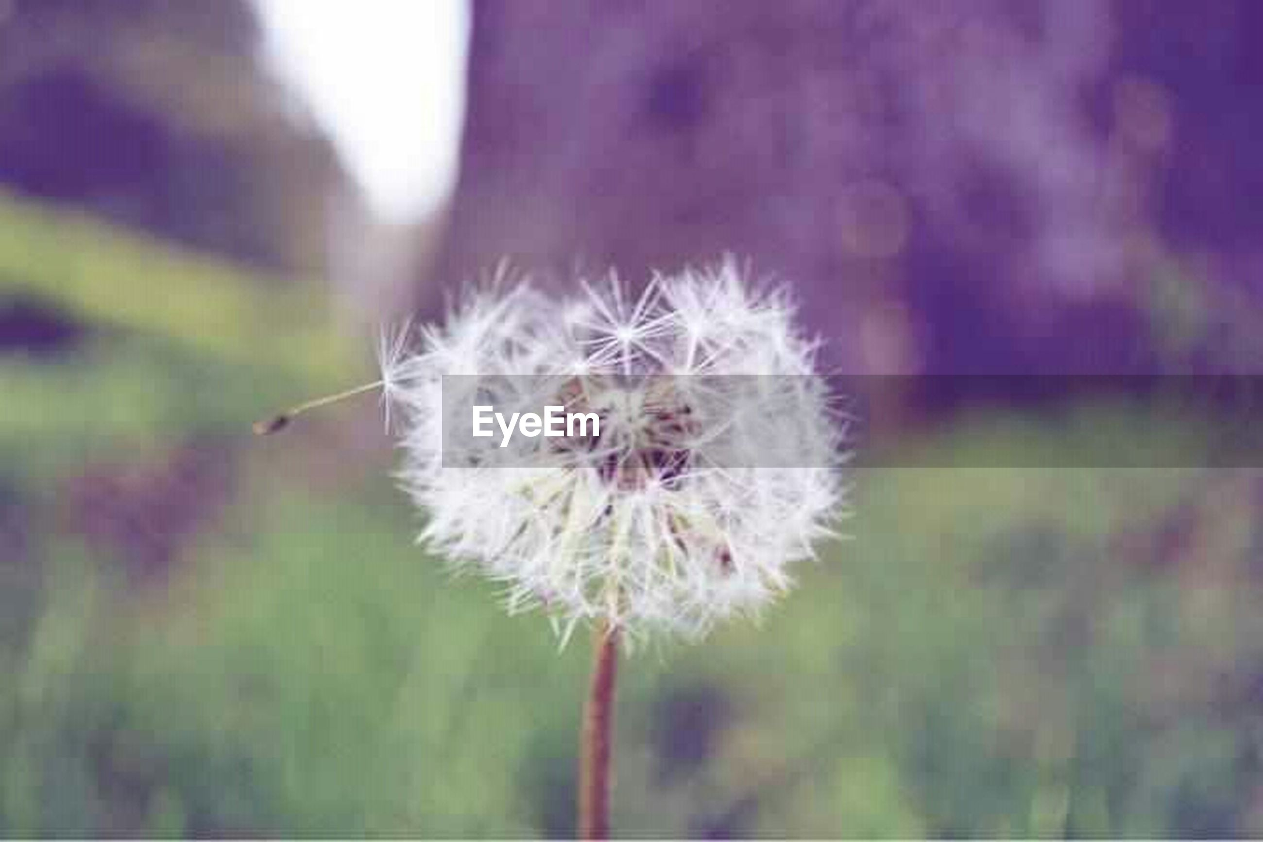 flower, fragility, focus on foreground, close-up, flower head, freshness, growth, dandelion, beauty in nature, nature, stem, single flower, softness, plant, selective focus, wildflower, white color, botany, in bloom, day