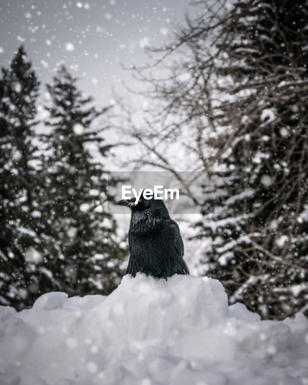 snow, bird, one animal, winter, animal themes, animals in the wild, nature, cold temperature, tree, weather, day, animal wildlife, outdoors, no people, perching, beauty in nature, low angle view, raven - bird, sky, close-up