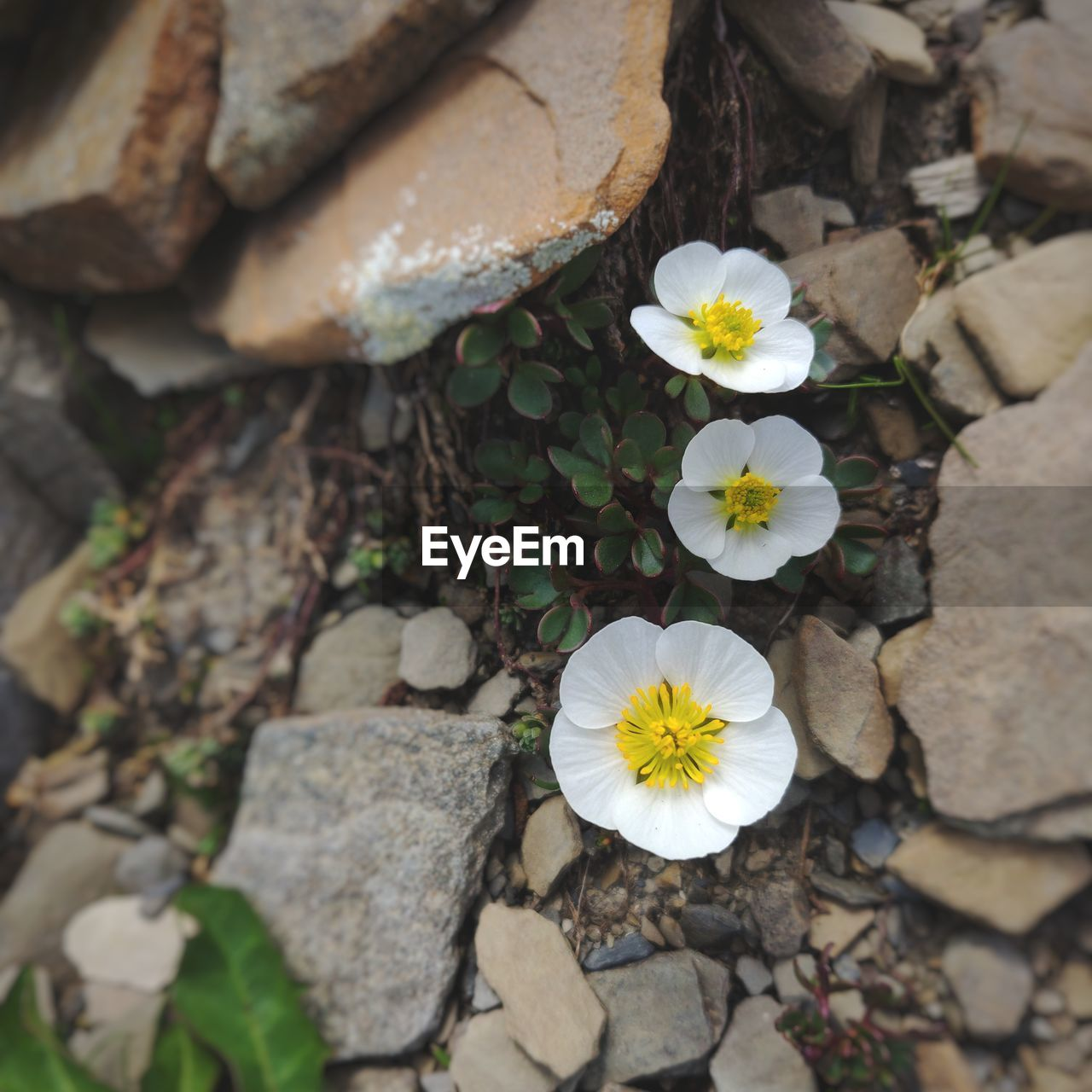 flowering plant, flower, plant, beauty in nature, vulnerability, fragility, petal, inflorescence, freshness, flower head, growth, nature, close-up, rock, day, high angle view, no people, solid, rock - object, outdoors, pollen