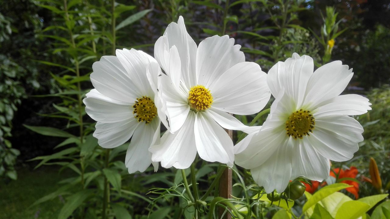 white color, flower, petal, nature, growth, flower head, plant, beauty in nature, fragility, no people, outdoors, day, freshness, blooming, close-up