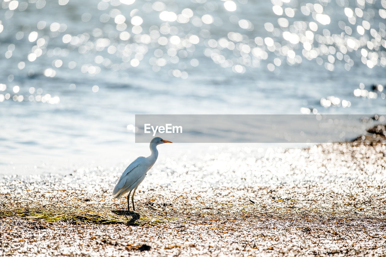water, animal, animal wildlife, beach, animals in the wild, animal themes, one animal, vertebrate, bird, land, sea, nature, focus on foreground, beauty in nature, no people, sand, day, perching, sunlight, seagull