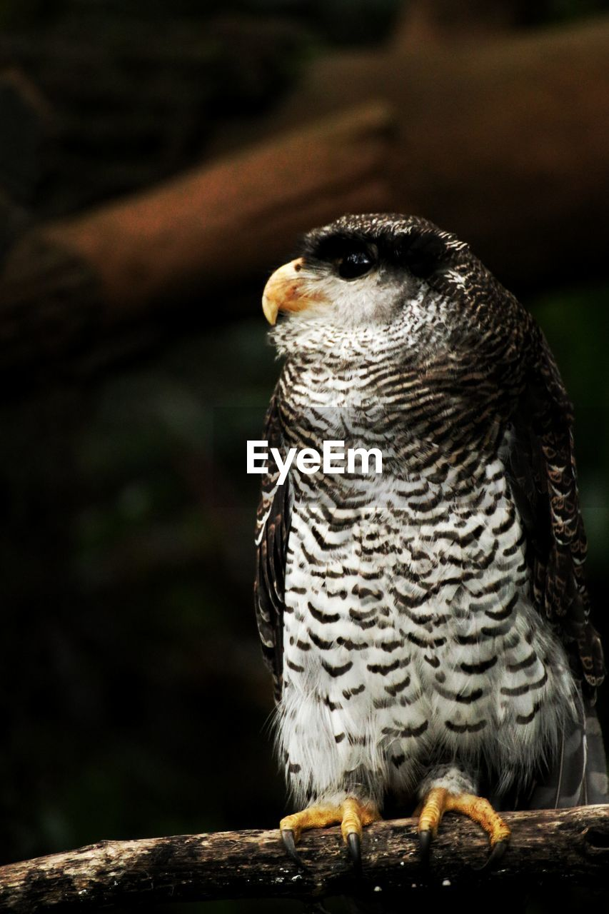 one animal, animal wildlife, vertebrate, animals in the wild, bird, bird of prey, owl, focus on foreground, close-up, no people, day, looking, perching, nature, portrait, wood - material, looking away