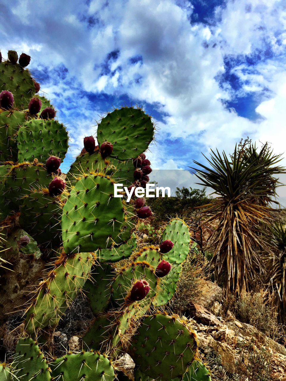 cactus, growth, nature, thorn, prickly pear cactus, spiked, sky, green color, cloud - sky, no people, plant, day, outdoors, danger, beauty in nature, low angle view, field, saguaro cactus, tree, close-up