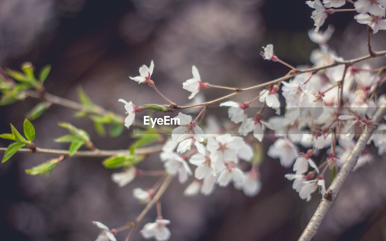 plant, flower, flowering plant, growth, beauty in nature, freshness, fragility, vulnerability, selective focus, close-up, nature, day, no people, petal, tree, branch, white color, twig, outdoors, springtime, flower head, cherry blossom, spring, cherry tree