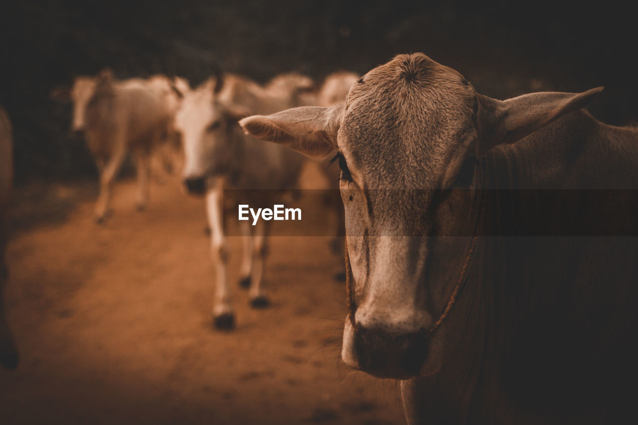 mammal, animal, animal themes, domestic animals, domestic, pets, vertebrate, livestock, group of animals, focus on foreground, standing, animal wildlife, no people, cattle, land, animal body part, cow, close-up, day, animal head, herbivorous