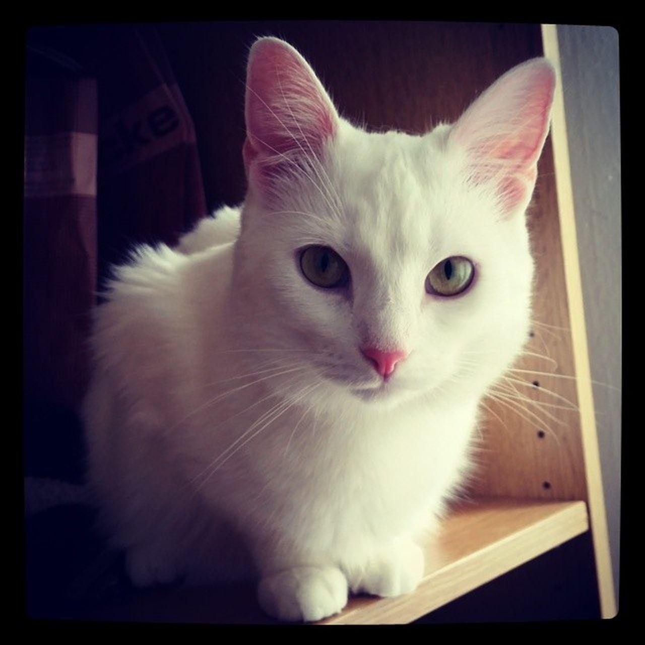 domestic cat, cat, feline, domestic, pets, indoors, mammal, domestic animals, no people, friendship, close-up