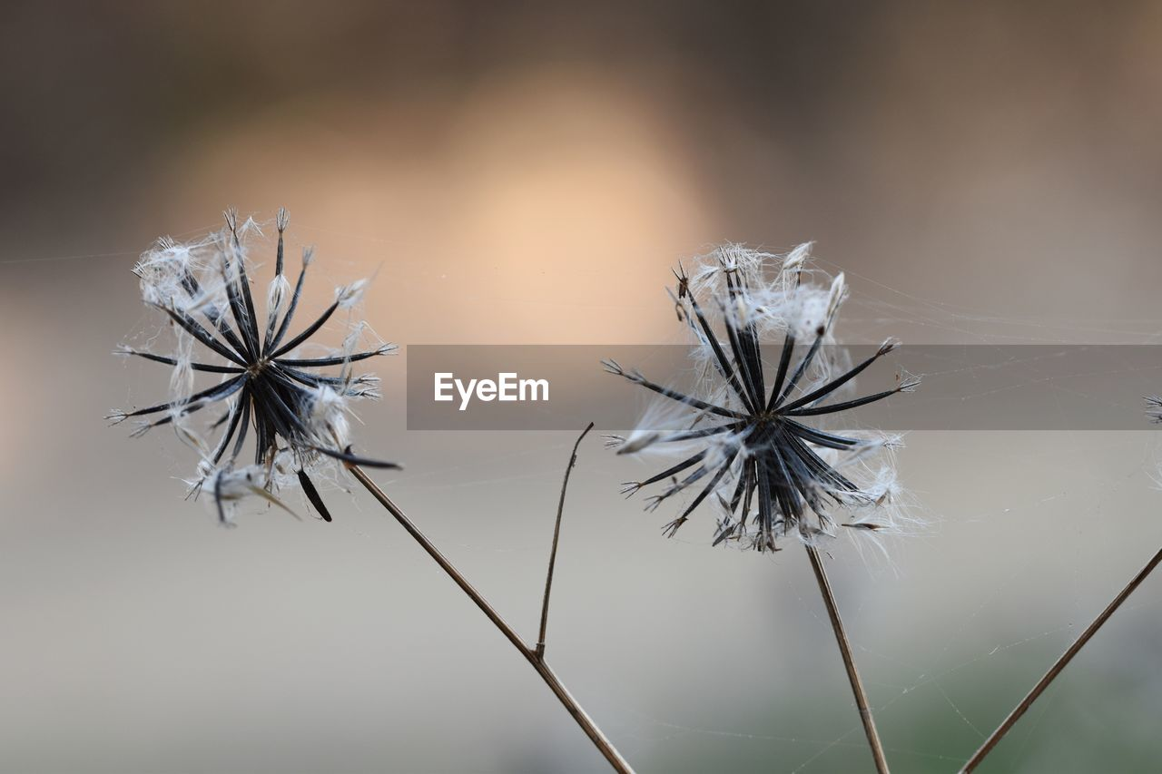 fragility, vulnerability, plant, close-up, focus on foreground, beauty in nature, nature, no people, growth, flower, flowering plant, day, tranquility, plant stem, selective focus, dandelion, freshness, dry, outdoors, dried plant, dandelion seed, dead plant, flower head, softness, wilted plant, dried
