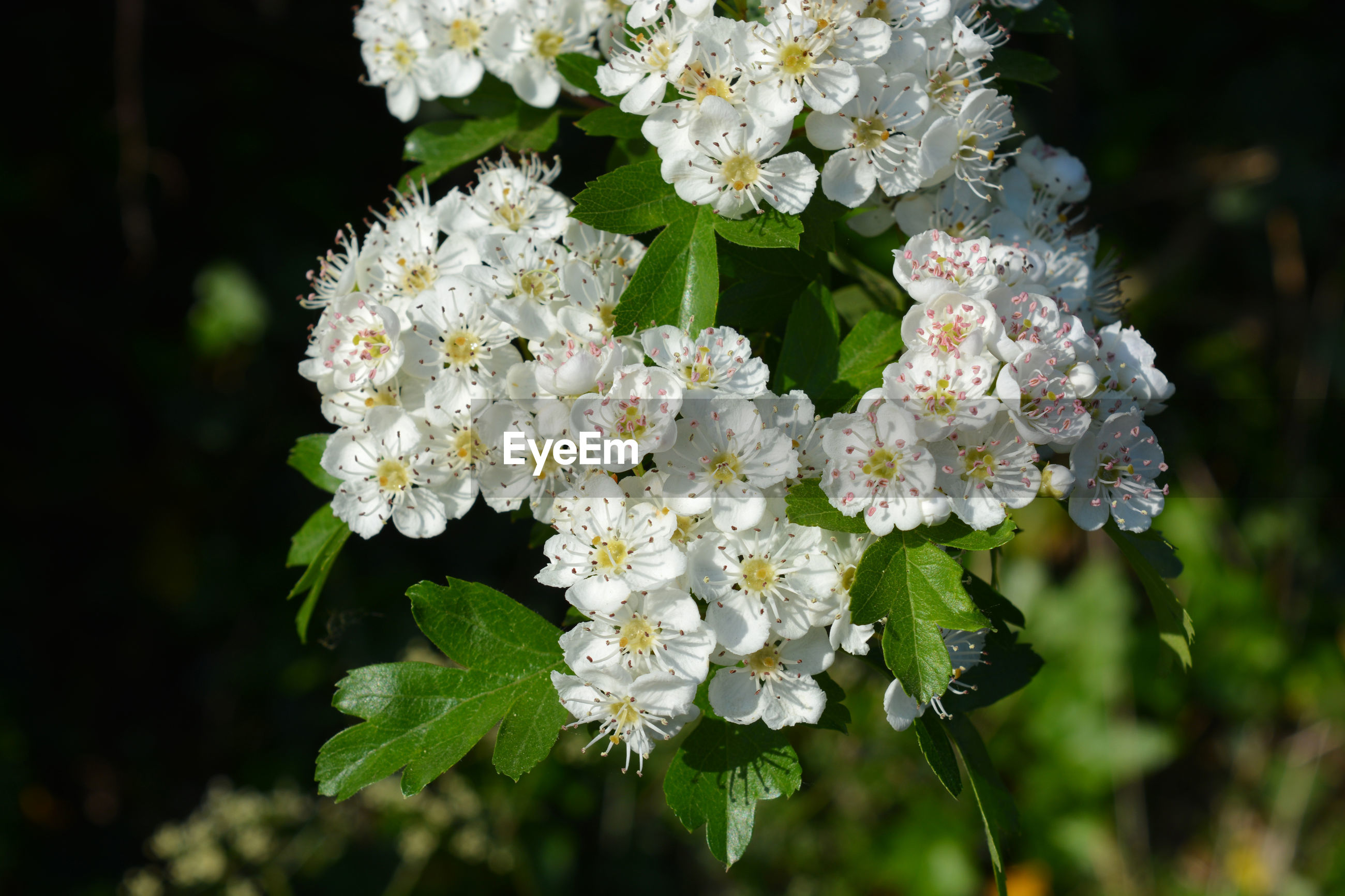 CLOSE-UP OF WHITE FLOWERING PLANT WITH TREE