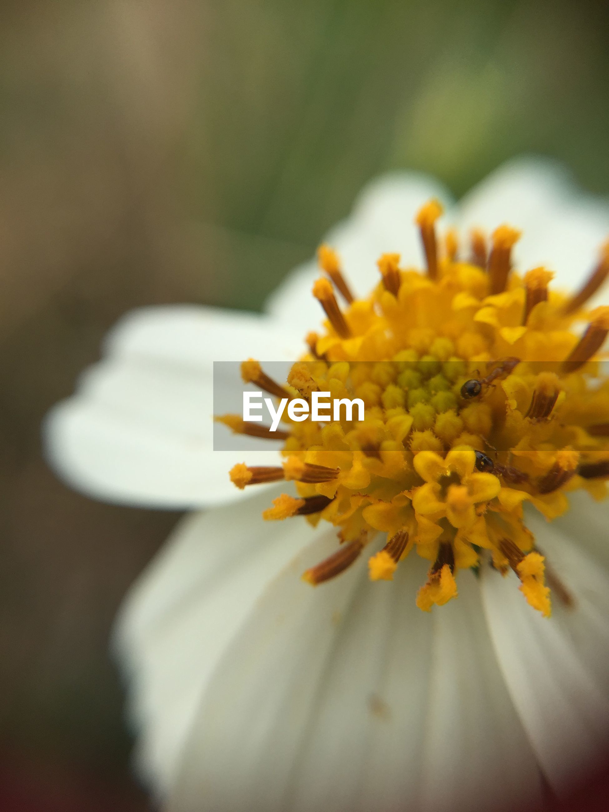 flower, petal, flower head, freshness, fragility, close-up, pollen, beauty in nature, yellow, single flower, selective focus, nature, growth, blooming, daisy, focus on foreground, stamen, white color, in bloom, macro