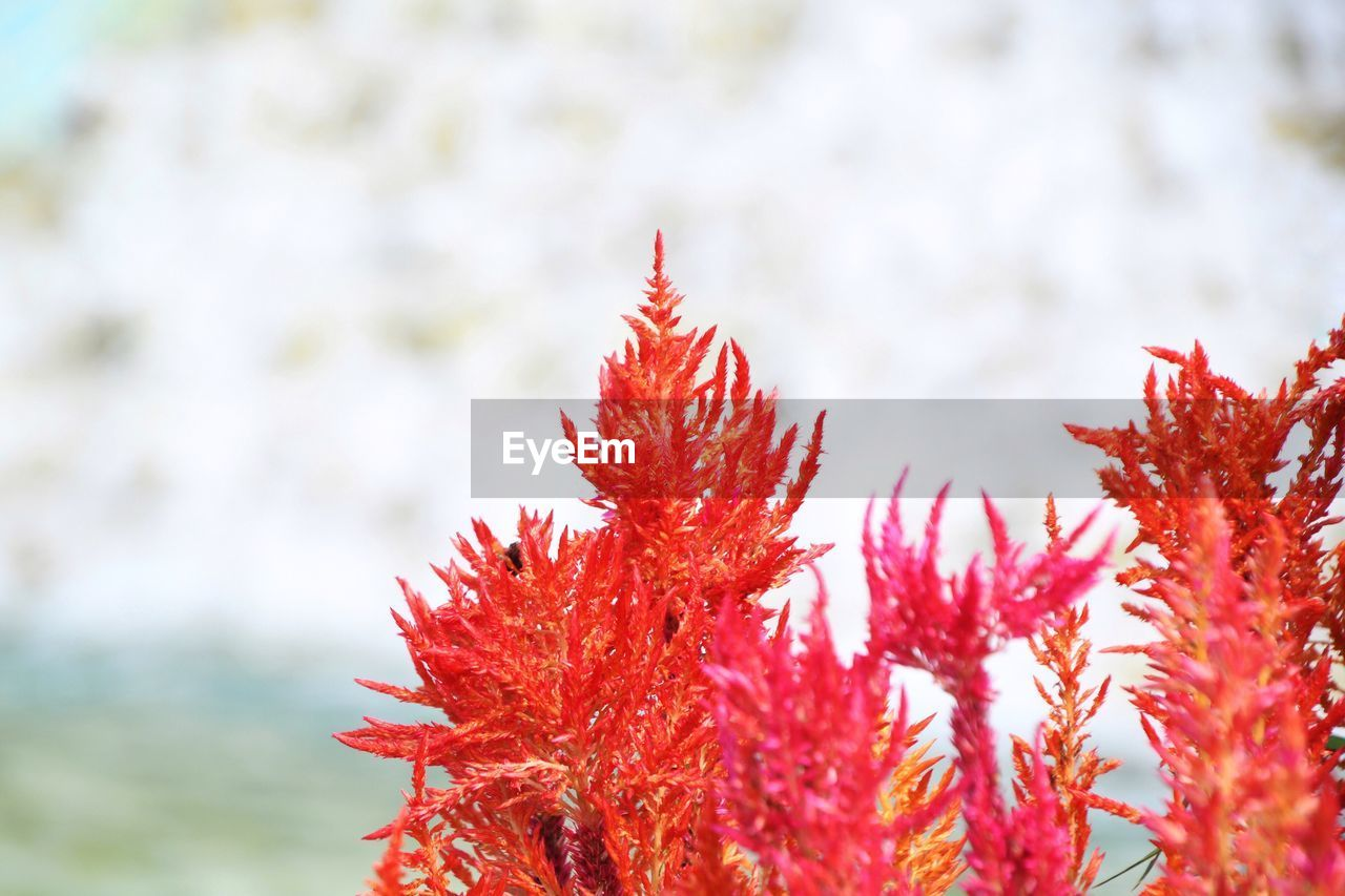 red, plant, close-up, day, beauty in nature, growth, no people, nature, focus on foreground, fragility, vulnerability, outdoors, selective focus, leaf, plant part, freshness, flower, autumn, flowering plant, tranquility, change, maple leaf