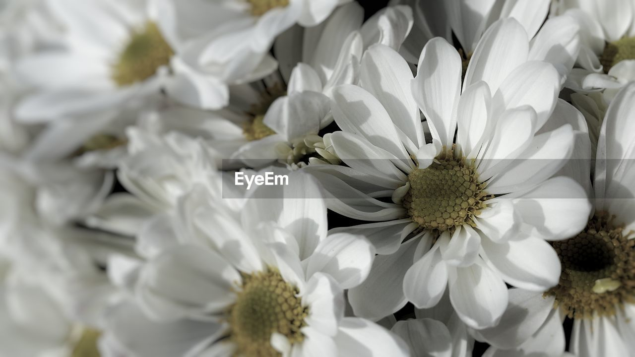 flower, petal, white color, flower head, fragility, no people, nature, freshness, beauty in nature, close-up, day, outdoors