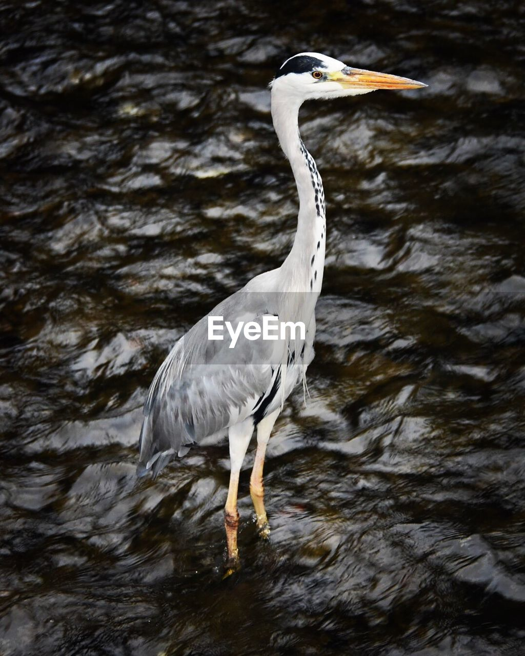 one animal, bird, animal themes, animals in the wild, animal wildlife, water, heron, nature, lake, day, waterfront, no people, outdoors, gray heron, close-up, perching, beauty in nature