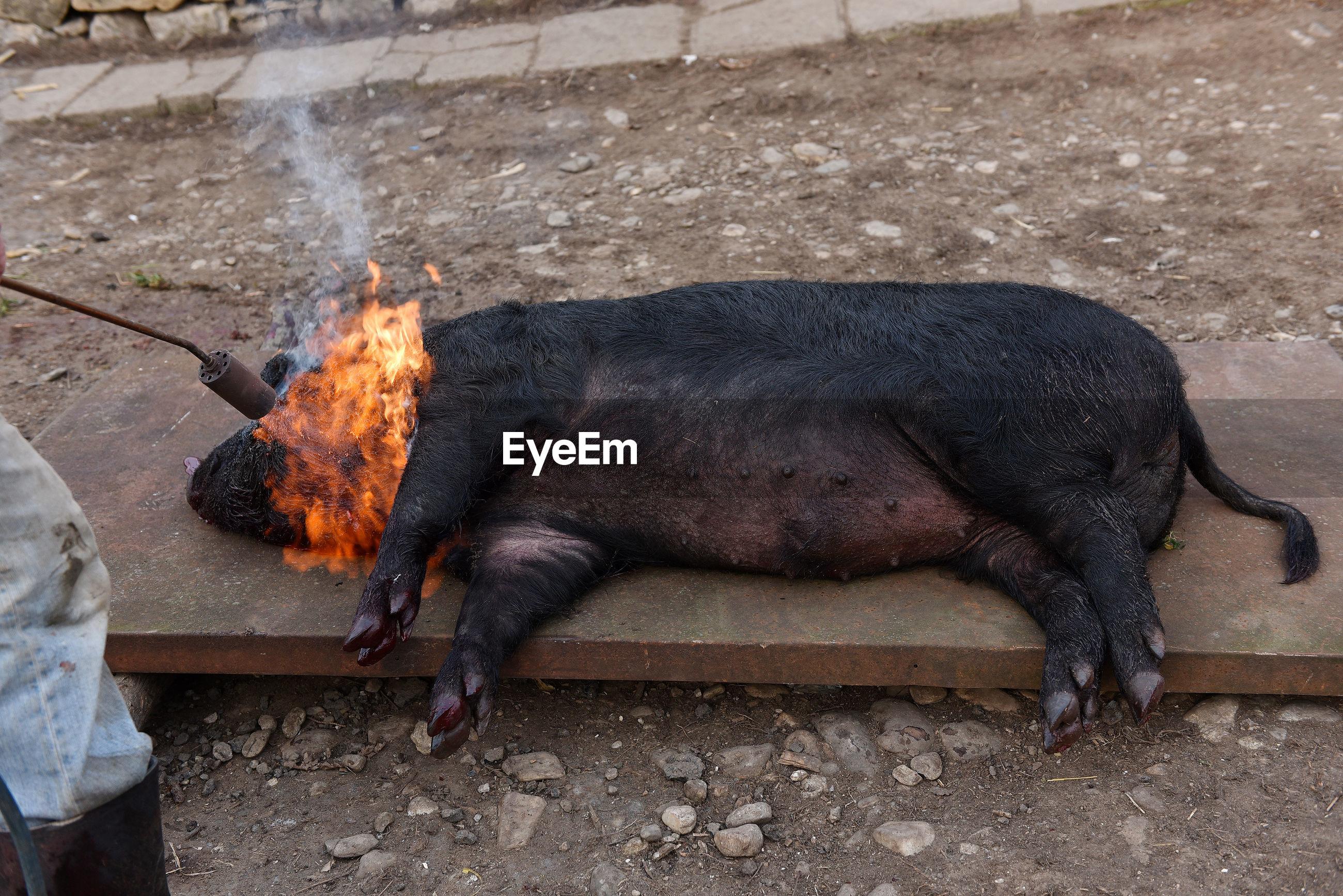 Cropped image of butcher burning pig on metal