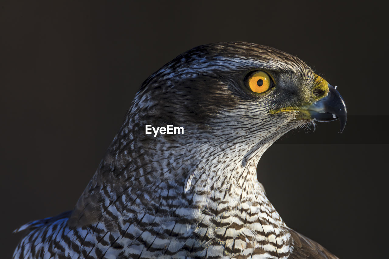 one animal, animal themes, animal, bird, vertebrate, animal wildlife, animals in the wild, close-up, looking away, looking, beak, animal body part, bird of prey, no people, focus on foreground, eye, studio shot, animal eye, black background, animal head, falcon - bird, profile view