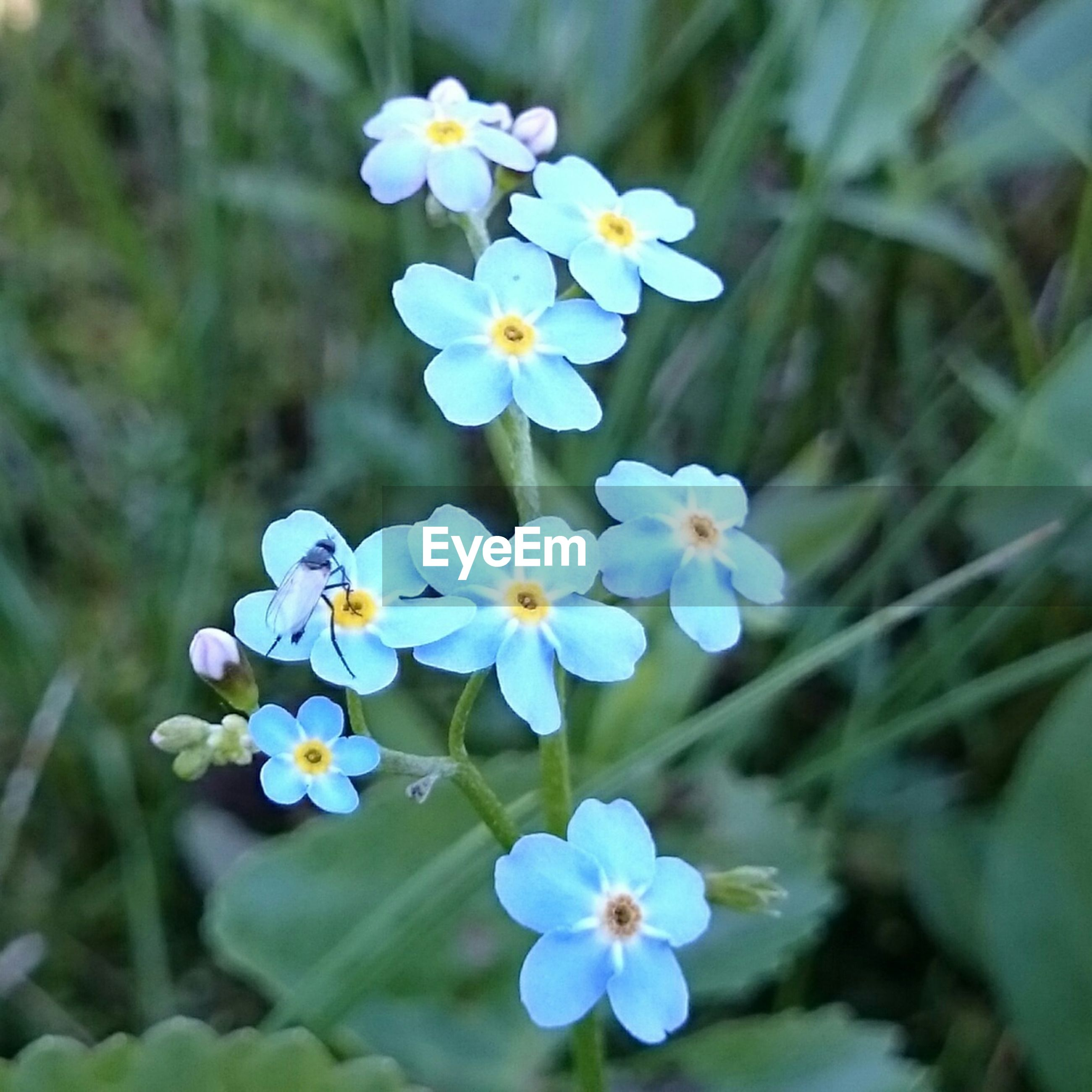 Close-up of insect on forget-me-not flower