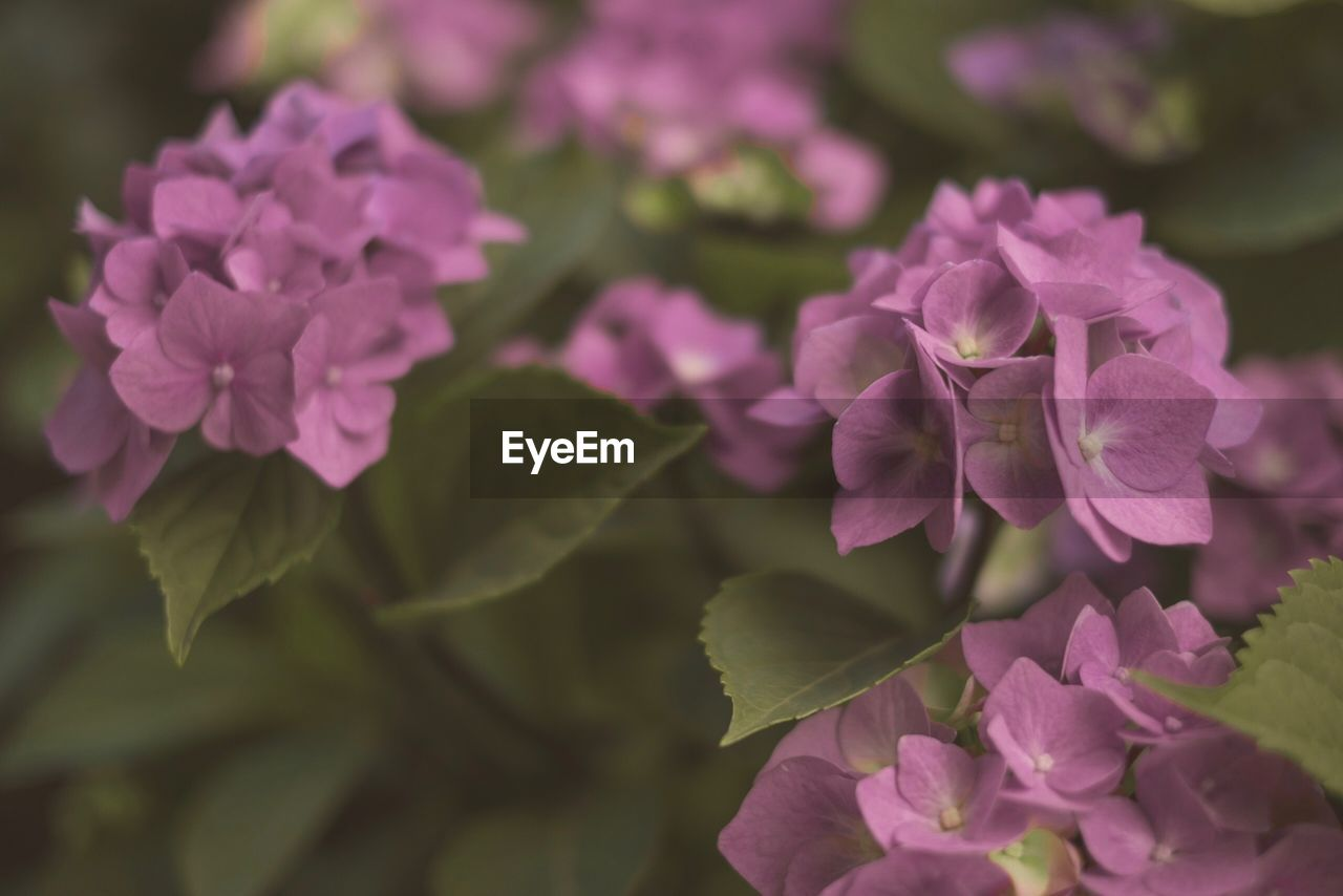 flowering plant, flower, beauty in nature, plant, vulnerability, fragility, freshness, petal, growth, close-up, pink color, inflorescence, flower head, nature, no people, day, focus on foreground, selective focus, outdoors, botany, purple, lilac