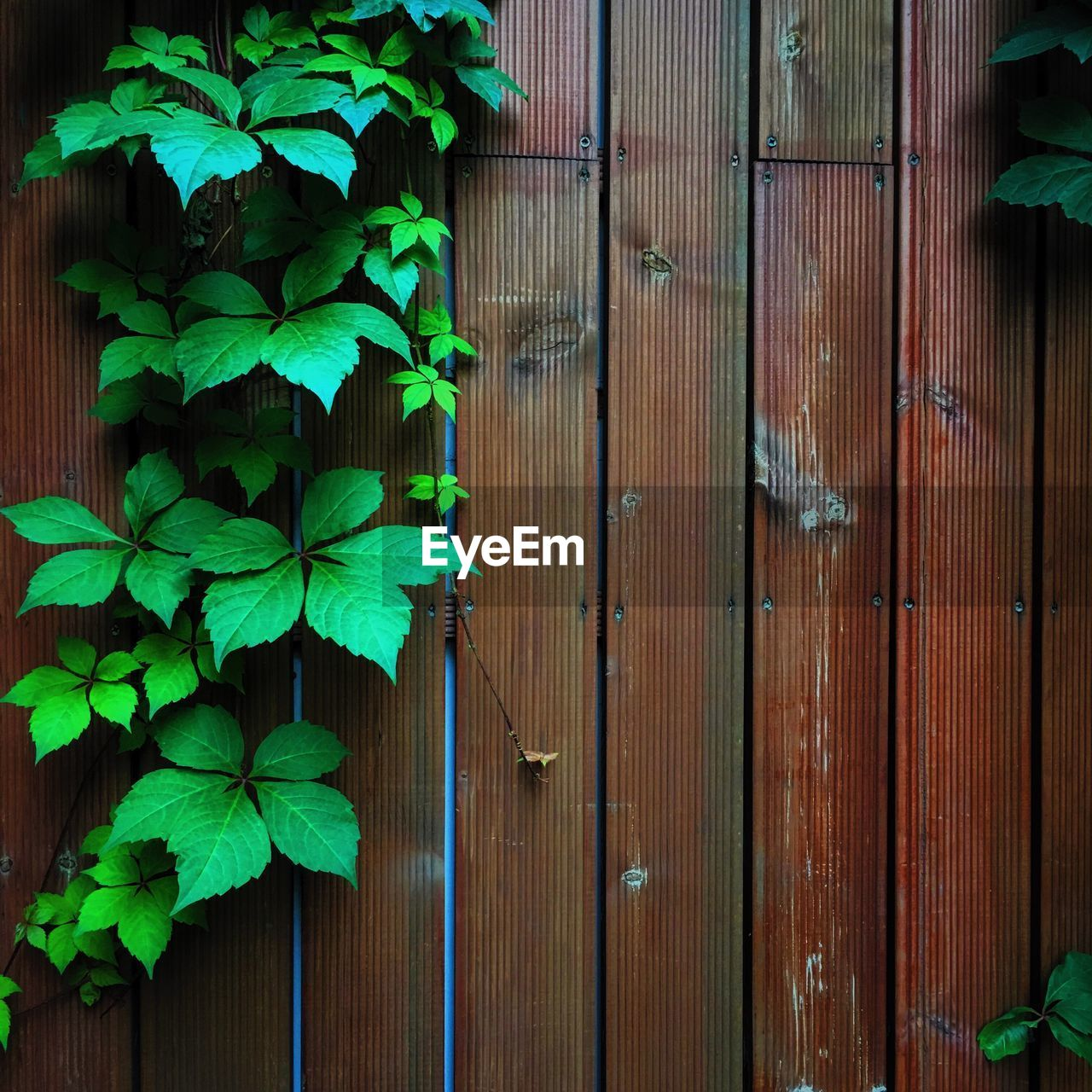 leaf, plant part, growth, wood - material, plant, green color, day, entrance, no people, door, nature, ivy, close-up, architecture, outdoors, closed, security, brown, beauty in nature, freshness